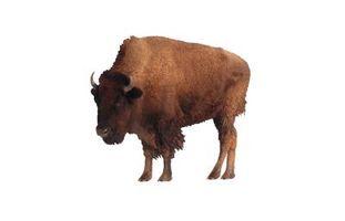 comment faire cuire un r ti de bison. Black Bedroom Furniture Sets. Home Design Ideas