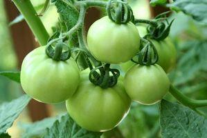 Comment tomates vertes CAN à l'aide de décapage Lime lieu de Canning sel