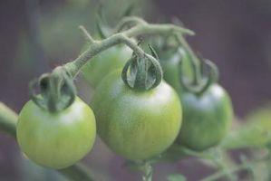 Comment faire mûrir les tomates vertes intérieur