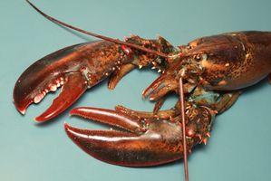 Comment faire cuire le homard dans une eau salée Boil