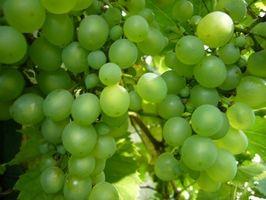 Comment choisir raisins pour faire votre vin
