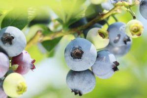 Quand est la saison des bleuets cueillette?