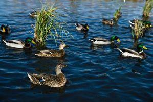 Comment faire pour supprimer Plumes Pin sur Ducks