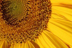 Avantages De feuilles et les graines de tournesol