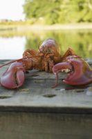 Les étapes de développement d'un homard du Maine