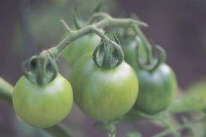 Servir Idées pour Beignets de tomates vertes