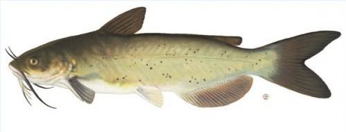 Techniques de pêche Catfish