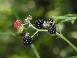 Plantes sauvages comestibles dans l'État de Washington
