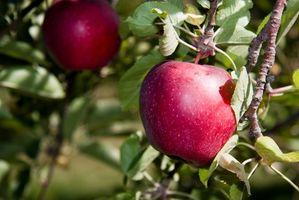 Cueillette de pommes près de Boston