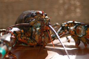 Instructions faire cuire le homard