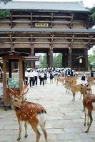 Comment nourrir le Free-Roaming Cerf dans Nara, au Japon