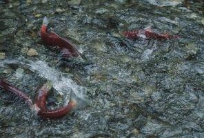 Comment préparer le saumon rouge
