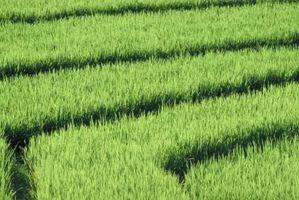 Qu'est-ce que Red grains de riz?