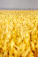 Comment utiliser Foodsaver pour le maïs congélation